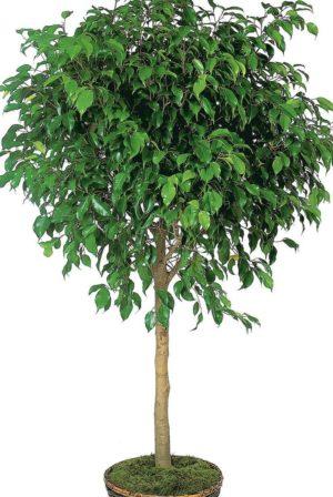 Fig Tree, in progress