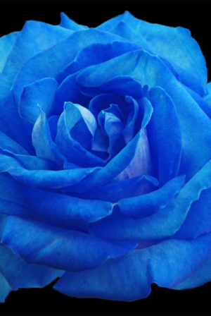 Blue Roses are my Favorite